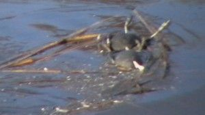 Dead Coots floating in Rattlechain lagoon